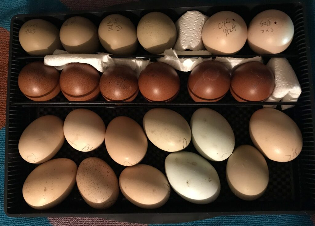 Eggs in Incubator Upright and on Their Side