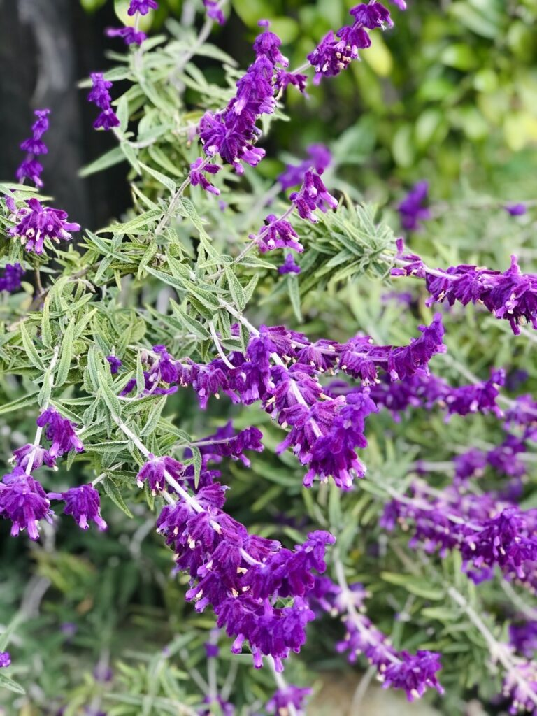 How to control flies with shrubs-Lavender