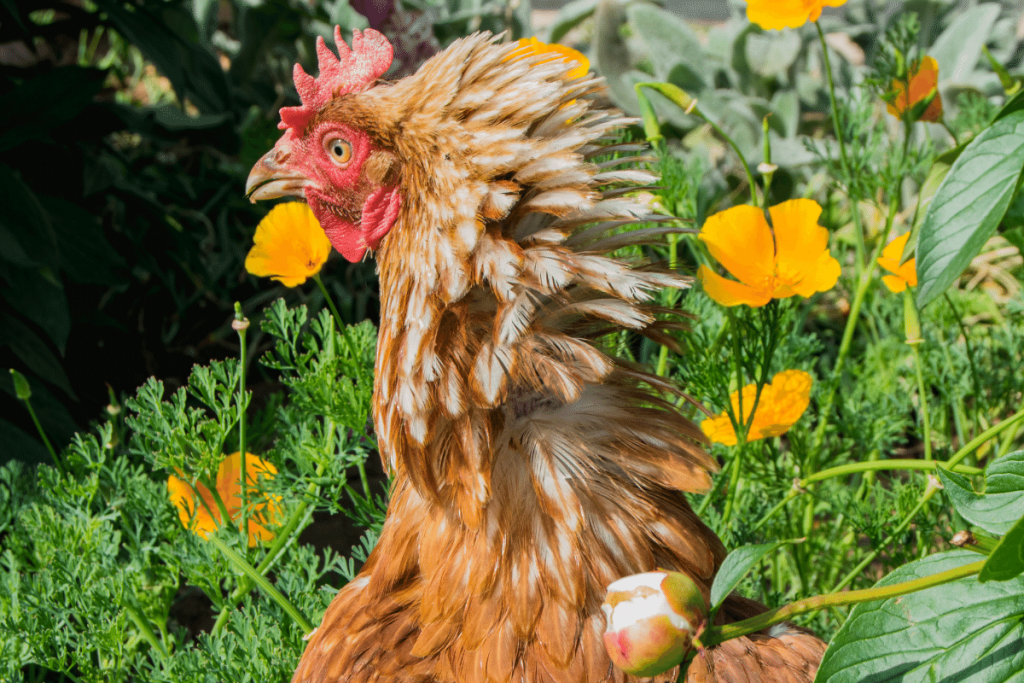 WHY DO CHICKENS PECK EACH OTHER TO DEATH?