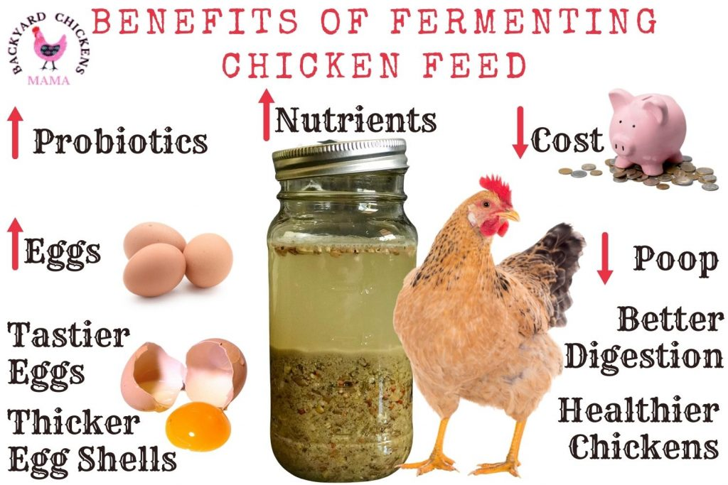 How to Ferment Chicken Feed – 6 Simple Steps (Photos)