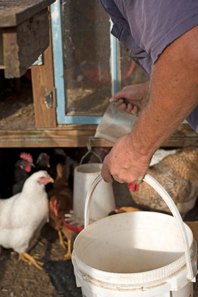 STORE CHICKEN FEED IN WATER TIGHT BUCKETS