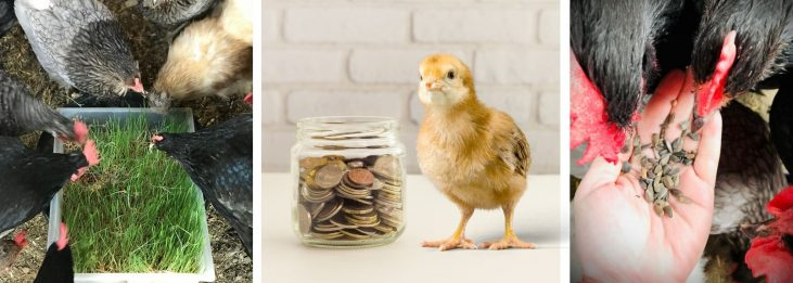 HOW TO FEED CHICKENS ON A BUDGET
