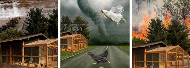 HOW TO KEEP CHICKENS SAFE DURING A DISASTER