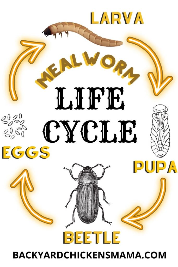 LIFE CYCLE OF A MEALWORM OR DARKLING BEETLE