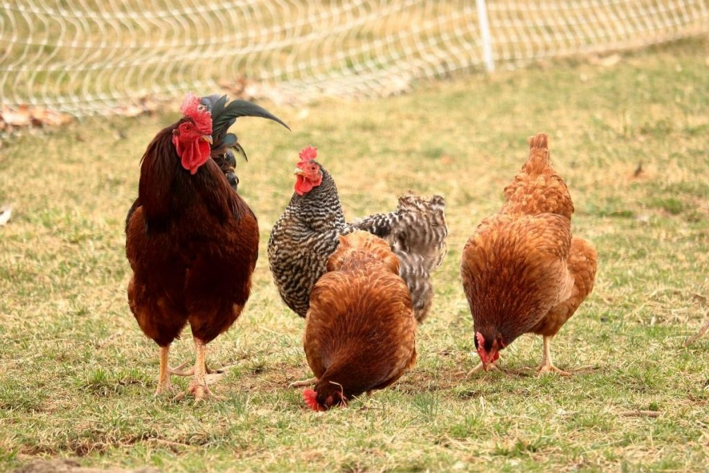 Don't let hens free range until later morning. How to get hens laying in their nesting boxes.