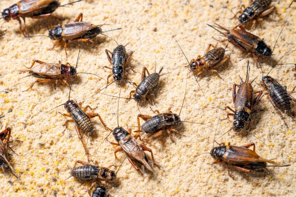 BREEDING CRICKETS AT HOME WILL SAVE YOU A LOT OF MONEY.