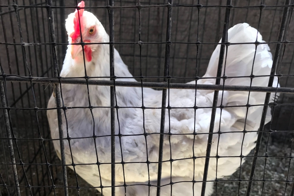 CHICKEN JAIL CAN BE USED FOR AGGRESSIVE CHICKENS.
