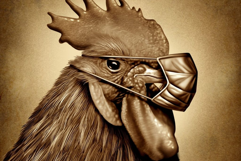 TO AVOID CONTRACTING MANY CHICKEN ILLNESSES, WEAR A MASK WHEN CLEANING YOUR CHICKEN COOP.