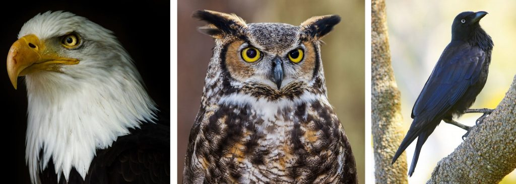 EAGLES, OWLS AND CROWS ARE A HAWKS BIGGEST PREDATORS.