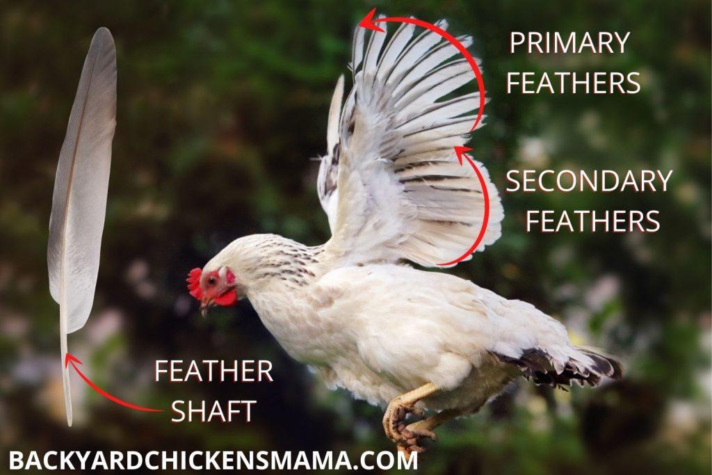 THERE IS BLOOD IN THE SHAFT OF ALL GROWING FEATHERS. CLIP CHICKEN WINGS TO PREVENT A CHICKEN FROM ESCAPING.