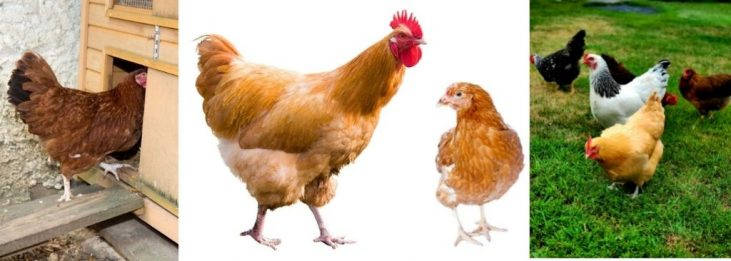 HOW TO SAFELY COMBINE TWO FLOCKS OF CHICKENS