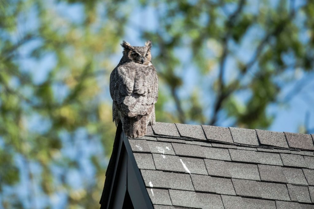 PLACE OWL DECOYS IN COMMON PLACES.