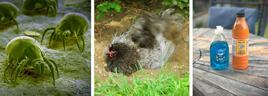 SIMPLE WAYS TO GET RID OF MITES IN CHICKENS-NATURALLY