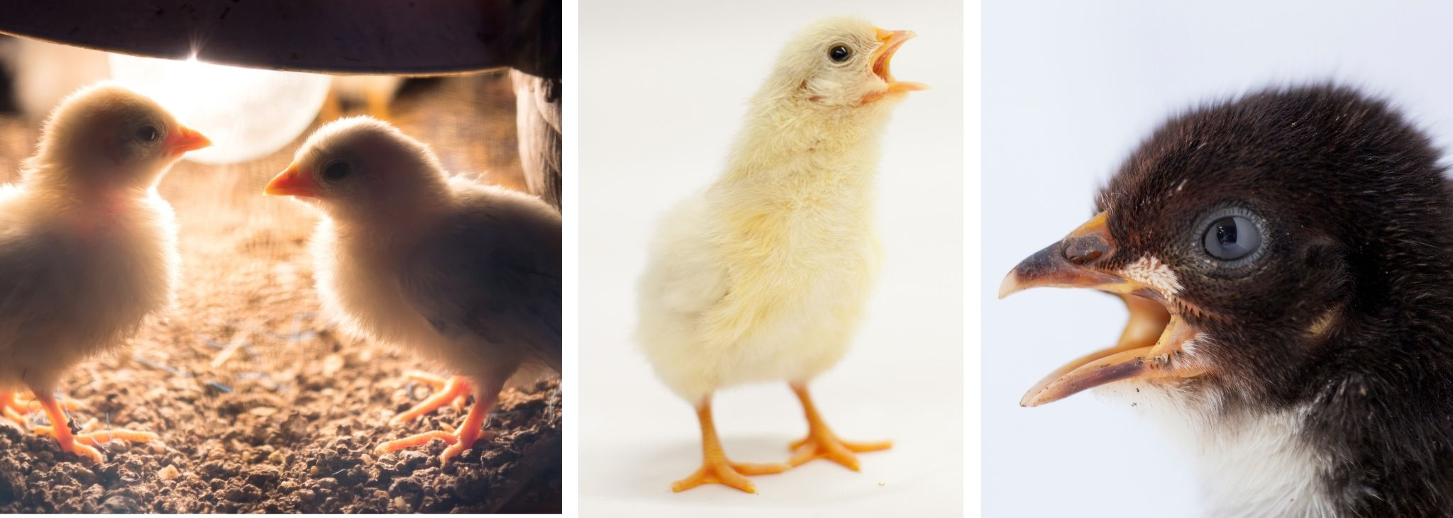 HOW TO CALM A STRESSED BABY CHICK